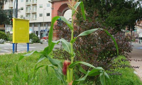 Settembre 2014 – Cresce il mais in Piazza Genova