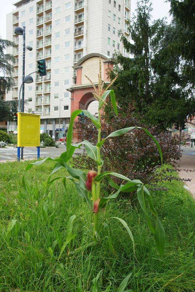 Settembre 2014 - Cresce il mais in Piazza Genova