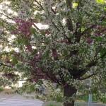 Uno stupendo albero bicolor fiorito in Corso IV Novembre